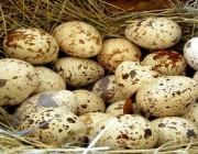 Перепелиные яйца: то, что нужно знать про пользу и вред